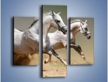 Obraz na płótnie – Białe konie w pustynnym galopie – trzyczęściowy Z055W3