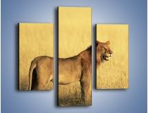Obraz na płótnie – Czujny wzrok lwicy – trzyczęściowy Z091W3
