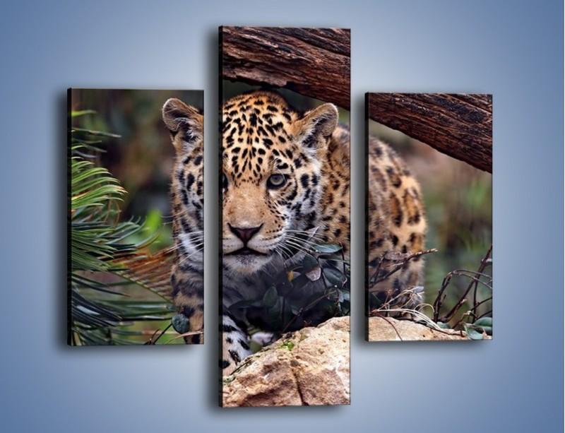 Obraz na płótnie – Jaguar w gotowości – trzyczęściowy Z198W3