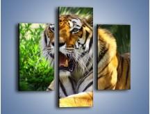 Obraz na płótnie – Cała duma tygrysa – trzyczęściowy Z199W3