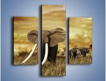 Obraz na płótnie – Drogocenne kły słonia – trzyczęściowy Z214W3