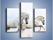 Obraz na płótnie – Białe konie i biały śnieg – trzyczęściowy Z239W3