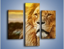 Obraz na płótnie – Dojrzały wiek lwa – trzyczęściowy Z303W3