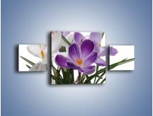 Obraz na płótnie – Biało-fioletowe krokusy – trzyczęściowy K020W4