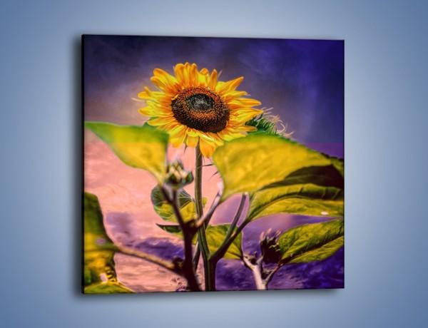 Obraz na płótnie – Słonecznik na ciemnym tle – jednoczęściowy kwadratowy GR634