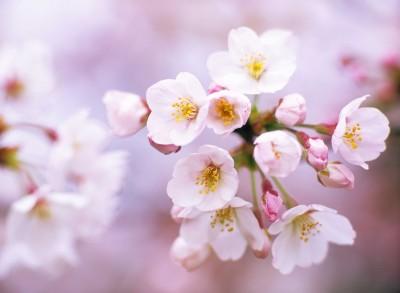 Gałązka kwiatów jabłoni - K102
