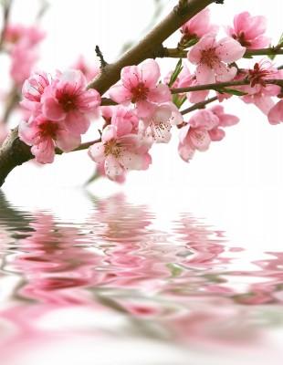 Gałązka z kwiatami pochylona nad wodą - K193