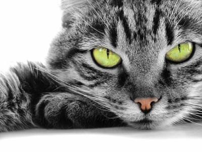 Obserwujący koci wzrok - Z031