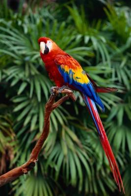 Papuga z długim ogonem - Z078