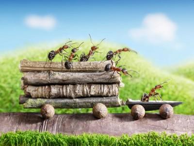 Przewóz drzewa przez mrówki - Z316
