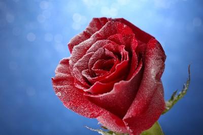 Róża w chłodne dni - K597