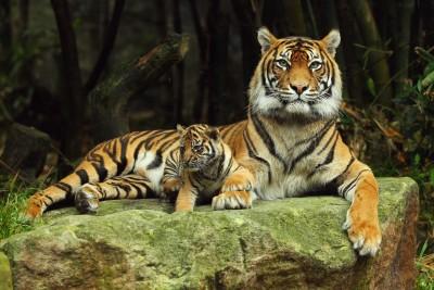 Tygrysia mamusia z maleństwem - Z138