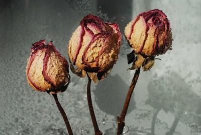Ususzone zmoczone róże - K944