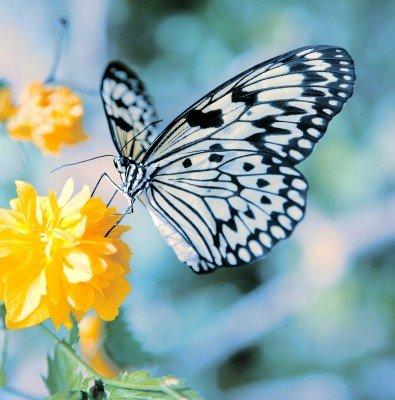 Czarno-biały motyl i kwiat - Z052