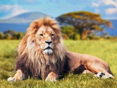 Dostojny lew na sawannie - Z282