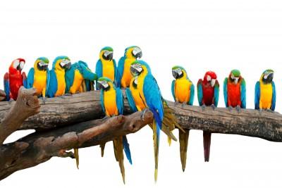 Kolorowe stado papug - Z326
