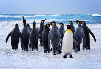 Narada pingwiniej rodziny - Z272