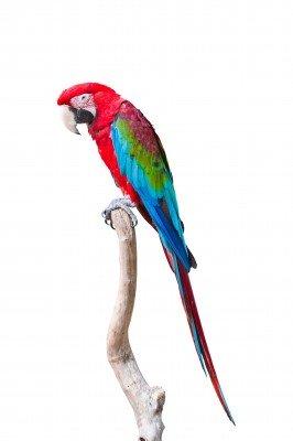 Papuga w samotności - Z098