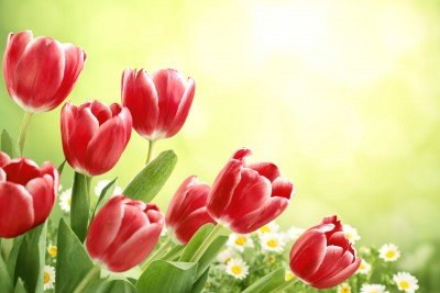Polne tulipany i stokrotki - K789