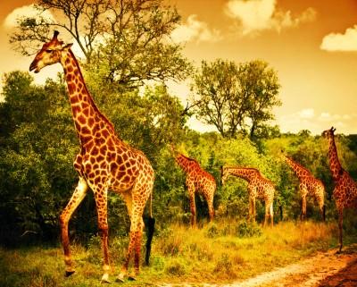 Spacer dumnych żyraf - Z270