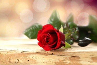 Stęskniona róża - K505