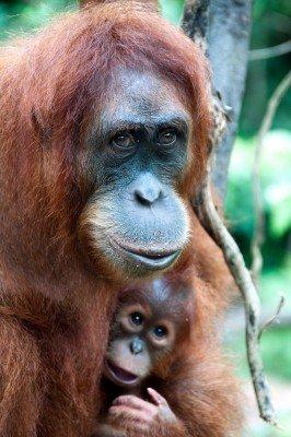 W uścisku orangutana - Z095