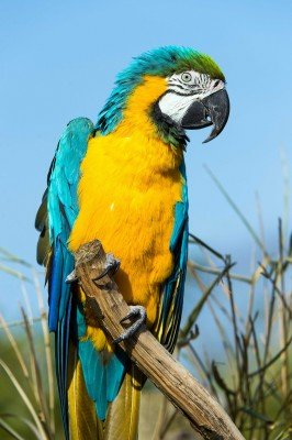 Zaciekawiona obserwująca papuga - Z318